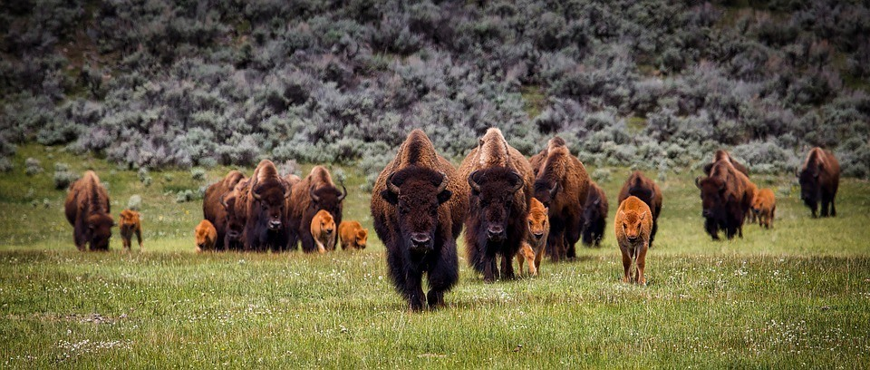 bison-buffalo-herd-wildlife