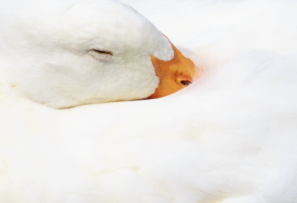 duck sleeping photo