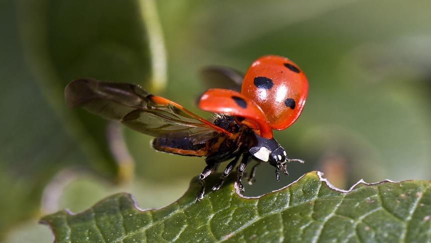 ladybug-flying-macro-lens
