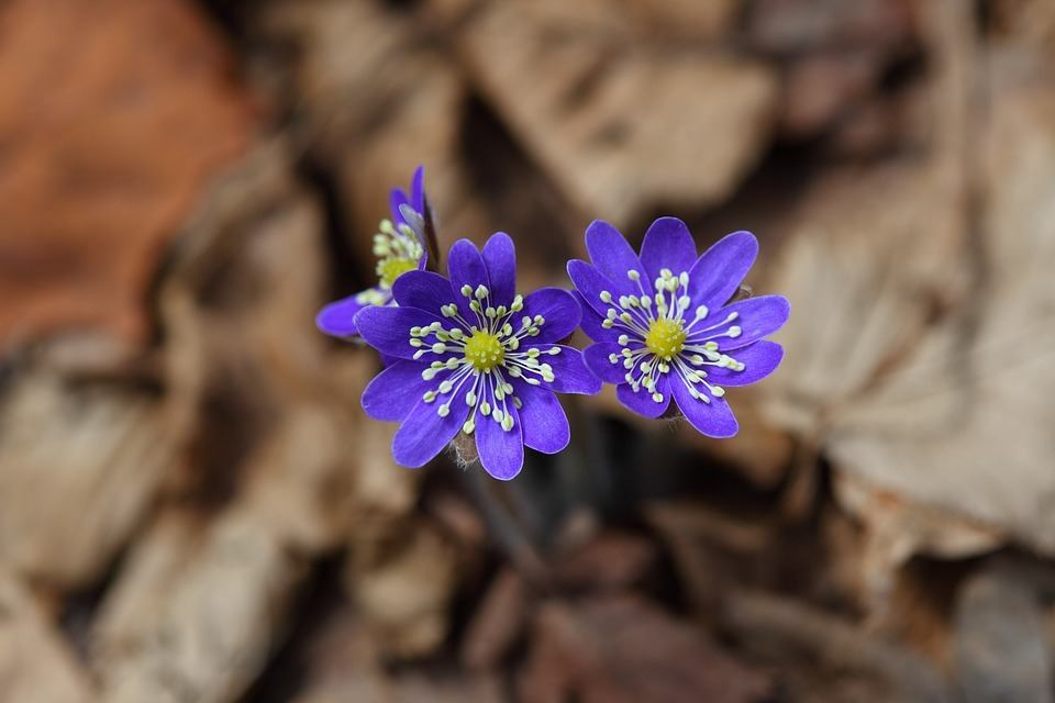 liverwort-nature-outdoors-hepatica