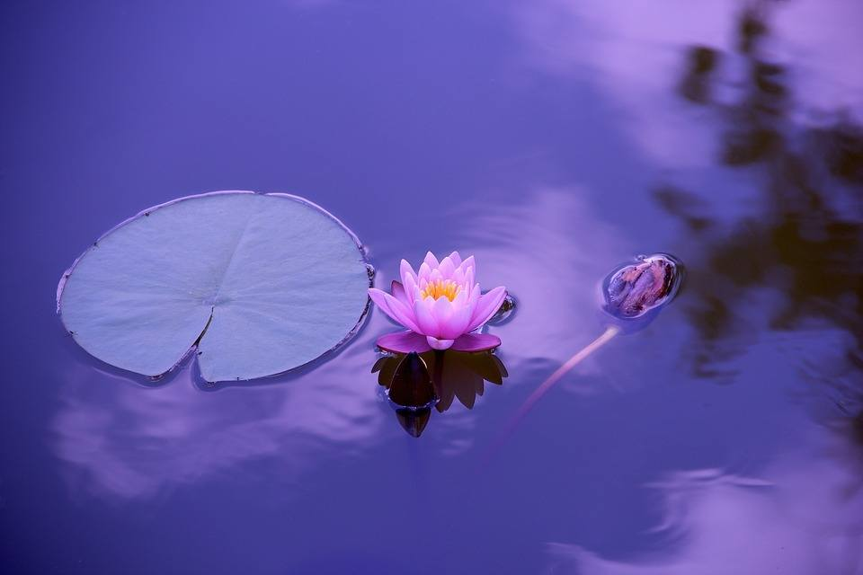 lotus-natural-water-meditation-zen