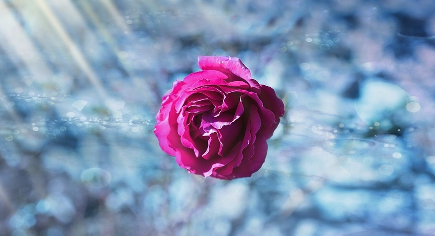 pink rose on ice