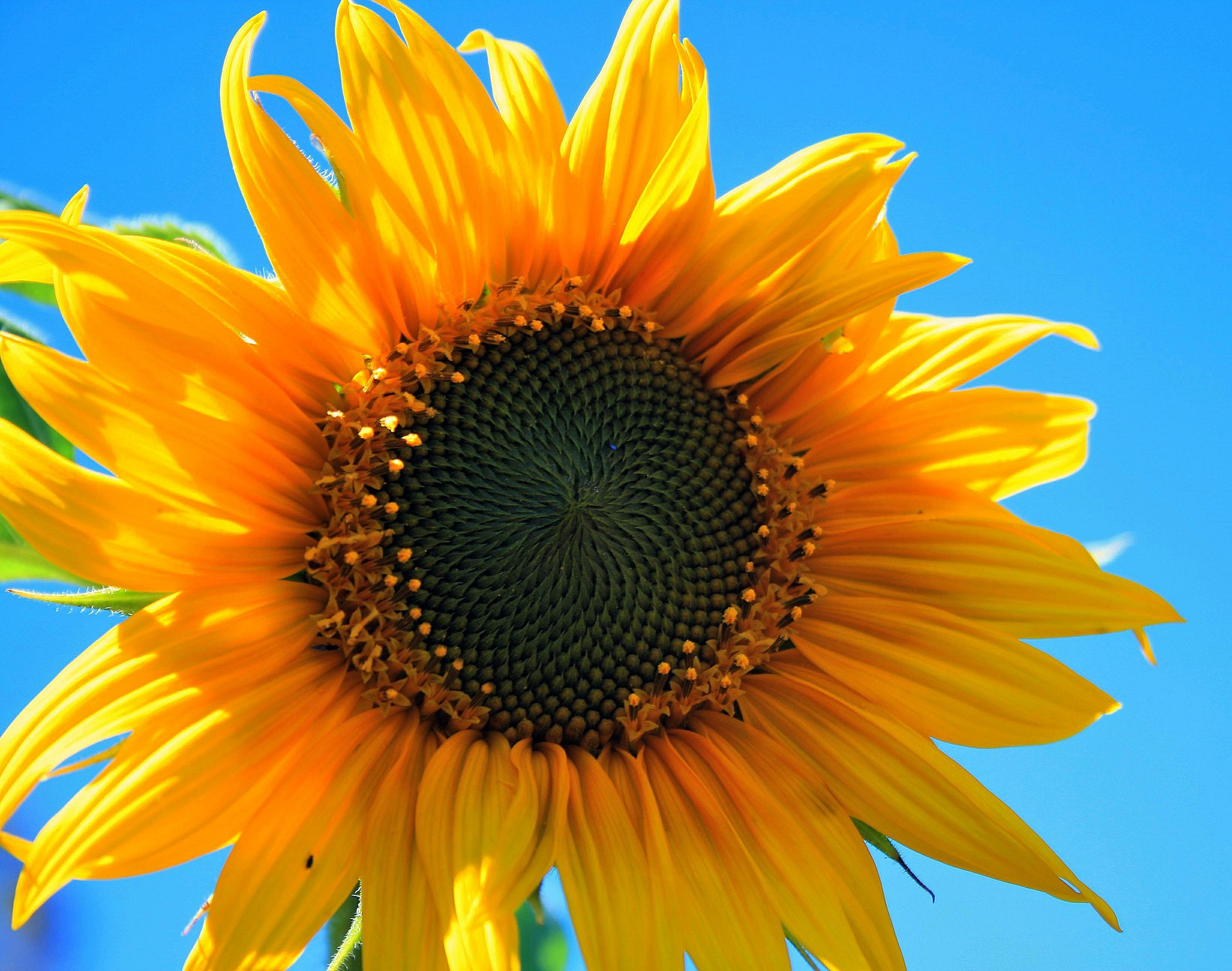 sunflower phi lines