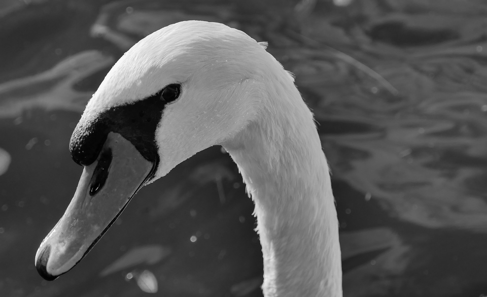 swan black and white