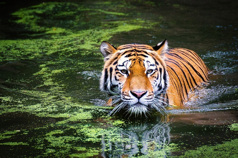 tiger-wildlife-zoo-cat