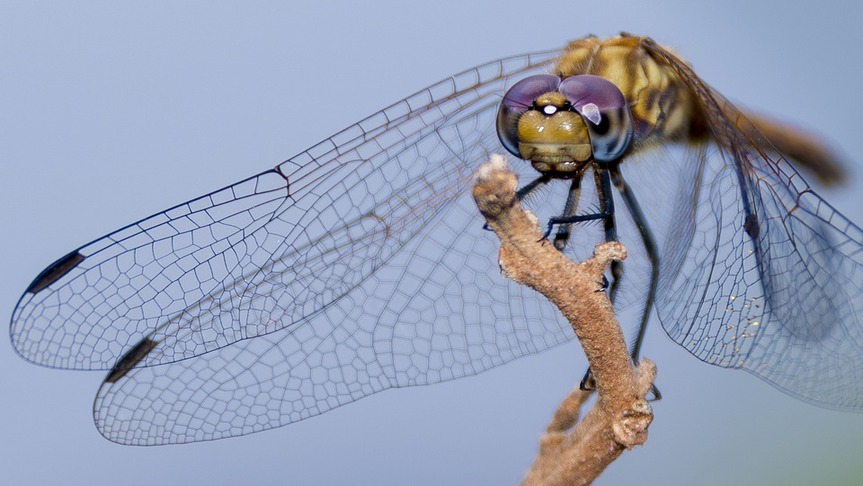 ugandan-dragon-fly-macro-lens